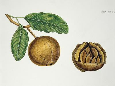 Botany, Lecythidaceae, Fruit of the Brazil Nut Bertholletia Excelsa, Cross-Section--Giclee Print