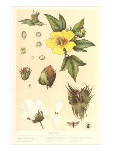 Botany of the Cotton Plant