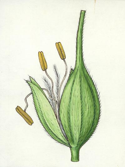 Botany, Poaceae or True Grasses, Scheme of the Flower--Giclee Print