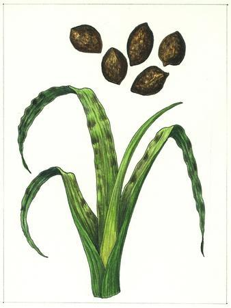 https://imgc.artprintimages.com/img/print/botany-poaceae-or-true-grasses-wheat-damaged-by-the-wheat-gall-nematode-anguina-tritici_u-l-pv7nab0.jpg?p=0