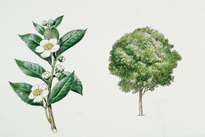 Botany, Theaceae, Tea Plant Camellia Sinensis with Flowers and Leaves--Giclee Print