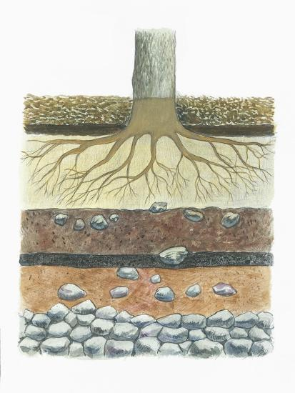 Botany, Tree Roots in Podzol Soil, Typical of Conifer Forests, Cross Section--Giclee Print