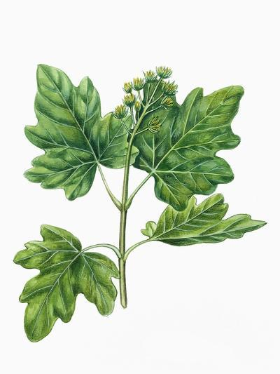 Botany, Trees, Aceraceae, Leaves and Flowers of Field Maple Acer Campestre--Giclee Print