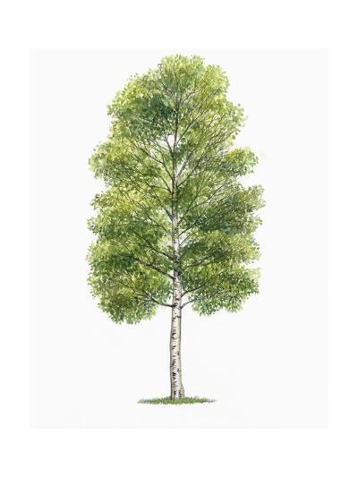 Botany, Trees, Betulaceae, European White Birch Betula Pubescens--Giclee Print
