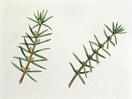 Botany, Trees, Cupressaceae, Male and Female Inflorescences of Common Juniper Juniperus Communis--Giclee Print