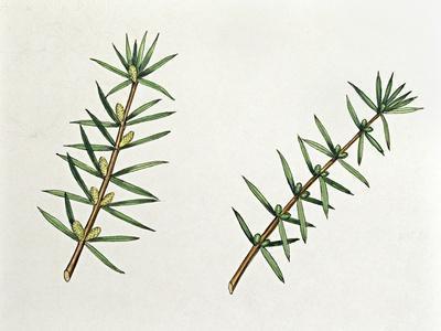 https://imgc.artprintimages.com/img/print/botany-trees-cupressaceae-male-and-female-inflorescences-of-common-juniper-juniperus-communis_u-l-pv4k1u0.jpg?p=0