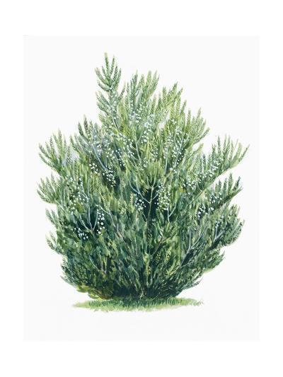 Botany, Trees, Ericaceae, Tree Heath Erica Arborea--Giclee Print