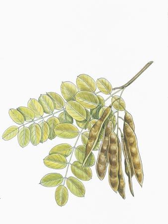 Botany, Trees, Fabaceae, Leaves and Fruits of Robinia Robinia Pseudoacacia--Giclee Print