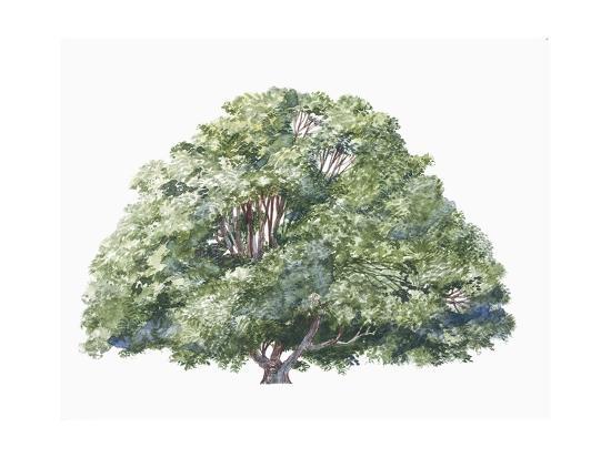 Botany, Trees, Nothofagaceae, Silver Beech Nothofagus Menziesii--Giclee Print