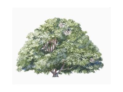 https://imgc.artprintimages.com/img/print/botany-trees-nothofagaceae-silver-beech-nothofagus-menziesii_u-l-pvs45q0.jpg?p=0