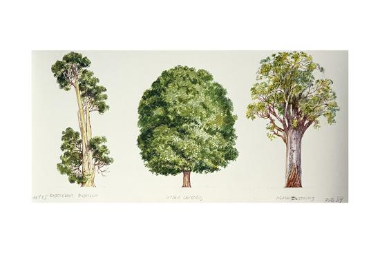 Botany, Trees, Pahautea Libocedrus Bidwillii, Mangeao Litsea Calicaris and Kauri Agathis Australis--Giclee Print
