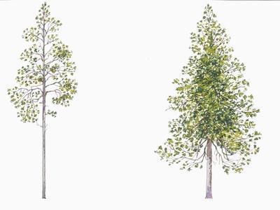 https://imgc.artprintimages.com/img/print/botany-trees-pinaceae-lodgepole-pine-pinus-contorta-and-jack-pine-pinus-banksiana_u-l-pv4wwf0.jpg?p=0