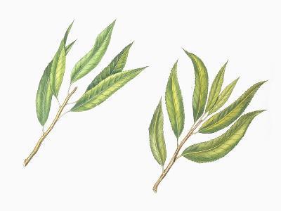 Botany, Trees, Rosaceae, Leaves of Almond Prunus Dulcis and Peach Prunus Persica--Giclee Print