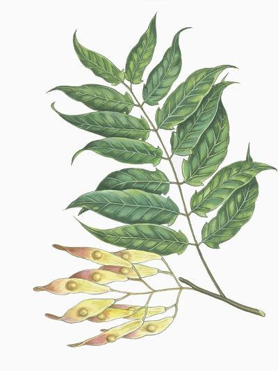 Botany, Trees, Simaroubaceae, Leaves and Fruits of Tree of Heaven Ailanthus Altissima--Giclee Print