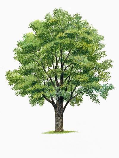 Botany, Trees, Ulmaceae, European White Elm Ulmus Laevis--Giclee Print