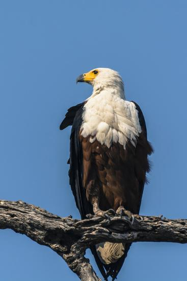 Botswana. Chobe National Park. African Fish Eagle Looks Out for a Meal-Inger Hogstrom-Photographic Print