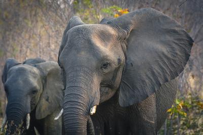 Botswana. Chobe National Park. Elephant. Mother and Calf-Inger Hogstrom-Photographic Print