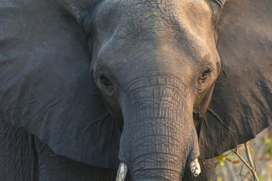 Botswana. Chobe National Park. Elephant-Inger Hogstrom-Photographic Print