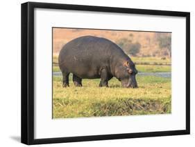 Botswana. Chobe National Park. Hippo Grazing Near the Chobe River-Inger Hogstrom-Framed Photographic Print