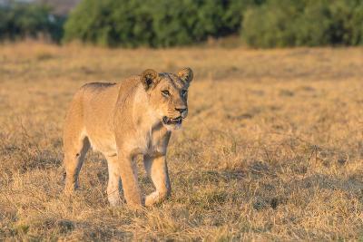 Botswana. Chobe National Park. Savuti. Female Lion on the Prowl-Inger Hogstrom-Photographic Print