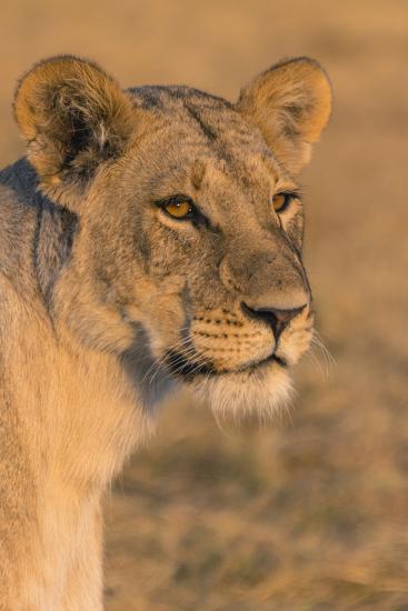 Botswana. Chobe National Park. Savuti. Female Lion-Inger Hogstrom-Photographic Print