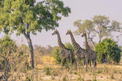 Botswana. Chobe National Park. Savuti. Giraffes Intently Watching a Hidden Lion in the Bush-Inger Hogstrom-Photographic Print