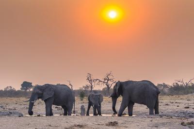 Botswana. Chobe National Park. Savuti. Harvey's Pan. Elephants Drinking at a Water Hole at Sunset-Inger Hogstrom-Photographic Print