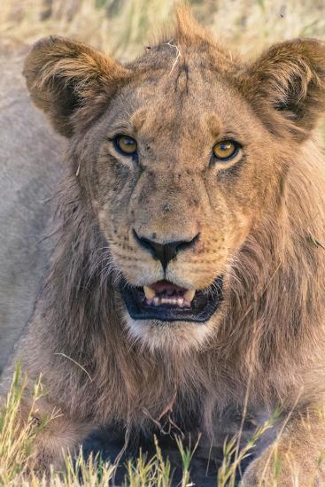 Botswana. Chobe National Park. Savuti. Young Male Lion Resting-Inger Hogstrom-Photographic Print