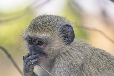 Botswana. Chobe National Park. Vervet Monkey Looking Pensive-Inger Hogstrom-Photographic Print