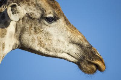 Botswana, Chobe NP, Close-up of Giraffe Standing Near Chobe River-Paul Souders-Photographic Print