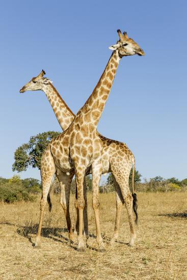 Botswana, Chobe NP, Giraffes Standing Side by Side in Okavango Delta-Paul Souders-Photographic Print