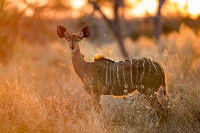 Botswana, Chobe NP, Greater Kudu Standing in Savuti Marsh at Sunrise-Paul Souders-Photographic Print