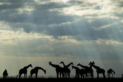 Botswana, Chobe NP, Herd of Giraffes Feeding Along Chobe River's Banks-Paul Souders-Photographic Print