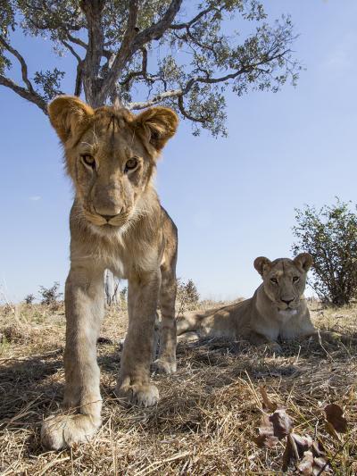 Botswana, Chobe NP, Lion Cub Approaching Remote Camera in Savuti Marsh-Paul Souders-Photographic Print