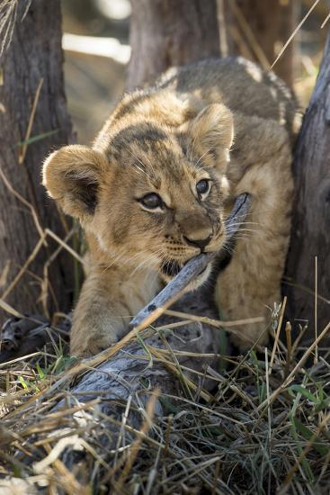 Botswana, Chobe NP, Lion Cub Chewing Stick under an Acacia Tree-Paul Souders-Photographic Print