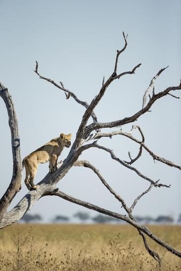 Botswana, Chobe NP, Lioness Climbing Acacia Tree in Savuti Marsh-Paul Souders-Photographic Print