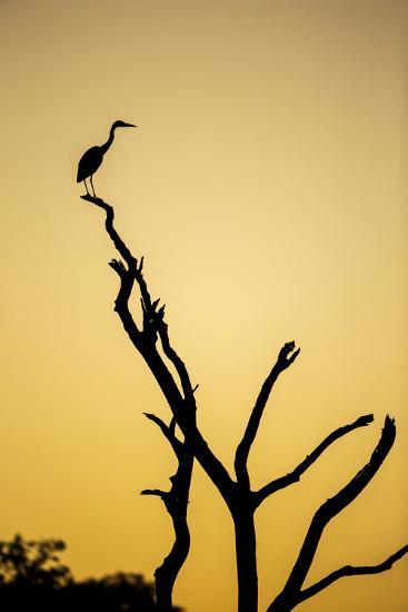 Botswana, Chobe NP, Savuti, Silhouette of Yellow-Billed Egret at Dusk-Paul Souders-Photographic Print