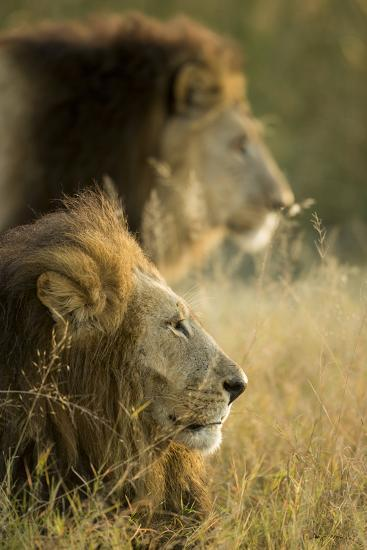 Botswana, Moremi Game Reserve, Lions in Morning Sun in Okavango Delta-Paul Souders-Photographic Print