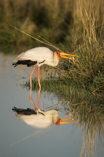Botswana, Moremi Game Reserve, Yellow Billed Stork Captures Small Frog-Paul Souders-Photographic Print