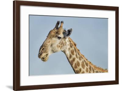 Botswana, Moremi Reserve, Giraffe Baring Teeth in Imitation of a Grin-Paul Souders-Framed Photographic Print