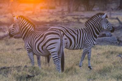 Botswana. Okavango Delta. Khwai Concession. Burchell's Zebra at Sunrise-Inger Hogstrom-Photographic Print