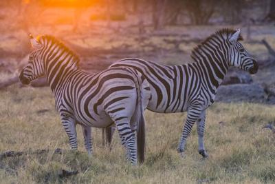 https://imgc.artprintimages.com/img/print/botswana-okavango-delta-khwai-concession-burchell-s-zebra-at-sunrise_u-l-q13bibs0.jpg?p=0