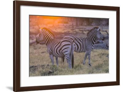 Botswana. Okavango Delta. Khwai Concession. Burchell's Zebra at Sunrise-Inger Hogstrom-Framed Photographic Print