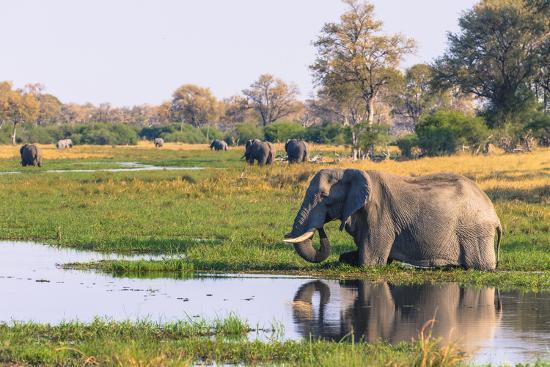 Botswana. Okavango Delta. Khwai Concession. Elephant Drinking-Inger Hogstrom-Photographic Print