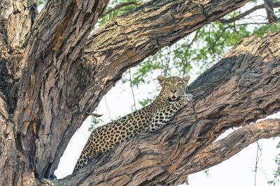 Botswana. Okavango Delta. Khwai Concession. Female Leopard Resting High in a Tree-Inger Hogstrom-Photographic Print