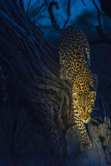 Botswana. Okavango Delta. Khwai Concession. Leopard Climbing Out of a Tree to Go Hunting-Inger Hogstrom-Photographic Print