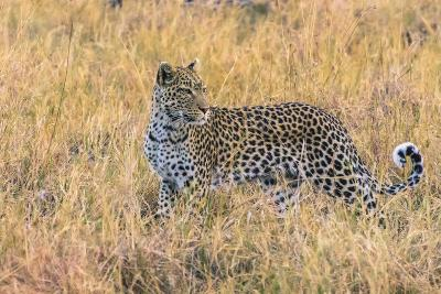 Botswana. Okavango Delta. Khwai Concession. Leopard Starts to Hunt-Inger Hogstrom-Photographic Print
