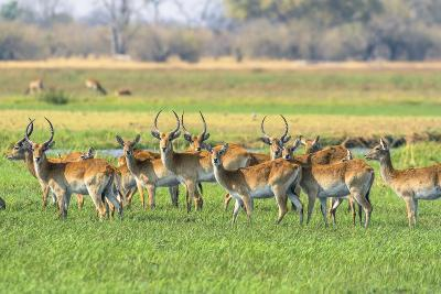 Botswana. Okavango Delta. Khwai Concession. Red Lechwe Herd-Inger Hogstrom-Photographic Print
