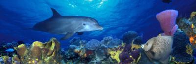 Bottle-Nosed Dolphin and Gray Angelfish on Coral Reef in the Sea