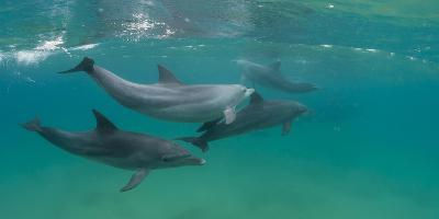 Bottle-Nosed Dolphin (Tursiops Truncatus) Swimming in Sea, Sodwana Bay, South Africa--Photographic Print